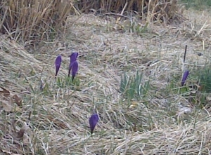 crocuses - purple